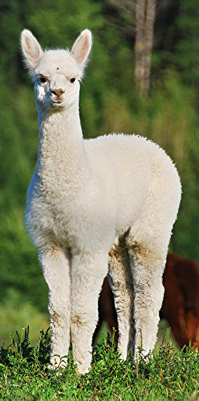 Is an alpaca a very hairy donkey?